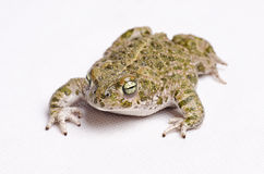 Runner toad. Isolated on white runner toad (Bufo calamita, spanish sapo corredor Stock Image