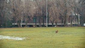Runnig ativo vermelho do cão no parque do outono e nos jogos com o brinquedo, lento-movimento vídeos de arquivo