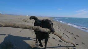 Runnig do cão preto com uma vara de madeira na praia perto da linha de mar vídeos de arquivo