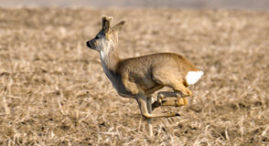 Runnig doe. Running doe on the field Stock Images