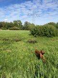 Runnig dog thru the grass Stock Images
