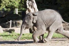 Runnig elephant Royalty Free Stock Photography