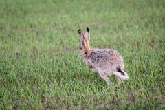 Runnin野兔 免版税库存图片