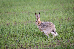 Runnin hare. A hare seen from behind, running over a green grass field Royalty Free Stock Images