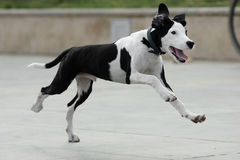 Running. A running dog, it`s lovely Royalty Free Stock Photos