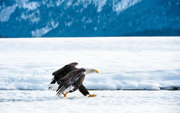 Running Adult Bald eagle Royalty Free Stock Photography