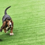 Running adult brown dog Basset Hound on a green covering. Empty space on the right royalty free stock photography