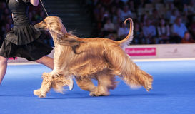 Running Afghan hound Stock Photography