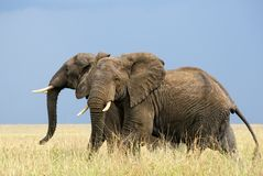 Running african elephants Royalty Free Stock Photo