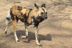 Running african wild dog Stock Photos