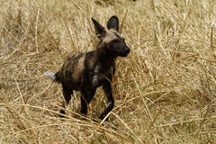 Hunting African Wild Dog Royalty Free Stock Photos