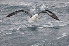 Running albatross Stock Photos