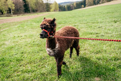 Running alpaca with rein Stock Photography