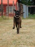 Running american bulldog royalty free stock image