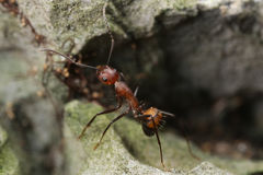 Running ant Royalty Free Stock Photos