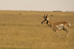 Running Antelope. Antelope running through an open field Stock Photography