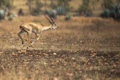 Running antelope Stock Images