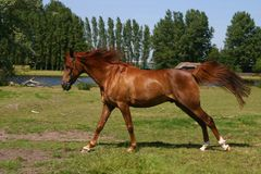 Running arabian horse stock image