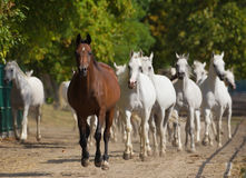 Running arabian horses. Runing head of arabian horses Stock Photos