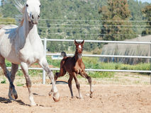 Running arabian little foal with mom. Israel Stock Images