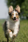 Running Australian shepherd dog Royalty Free Stock Photography