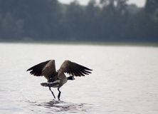 Running away. A photo of a goose flying above the water royalty free stock photo