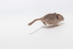 Running away out of focus Mongolian gerbil. On white background Stock Images