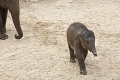 Running baby elephant. Stock Image