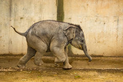 Running Baby Elephant. Funny baby elephant running with tail cocked Stock Photo