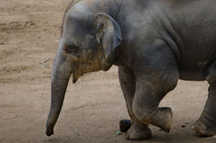 Running baby elephant Stock Photo