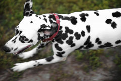 Running back dalmatien de chien image stock