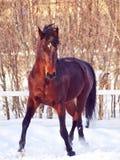 Running Bay Horse Stock Photo