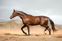 Running bay horse in the desert Stock Images