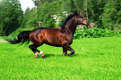 Running bay horse in green meadow Stock Photo