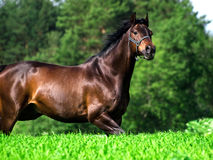 Running bay horse in green meadow Royalty Free Stock Image