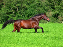 Running bay horse in green meadow Stock Image