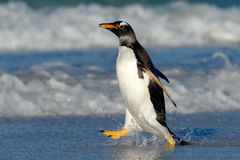 Running on the beach. Penguin in the ocean water. Gentoo penguin jumps out of the blue water while swimming through the ocean in F Royalty Free Stock Photos