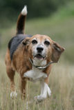 Running Beagle dog Royalty Free Stock Photos