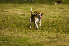 Running beagle dogs. Stock Photos