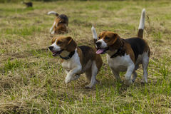 Running beagle dogs. Stock Image