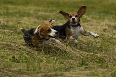 Running beagle dogs. Stock Photography