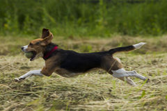 Running beagle dogs. Royalty Free Stock Image