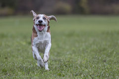 Running Beagle. Beagle running over a green meadow royalty free stock photos