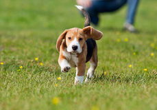 Running beagle puppy at the walk Royalty Free Stock Photography