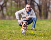 Running beagle puppy on the walk Royalty Free Stock Photography