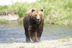 Running Bear Royalty Free Stock Photography
