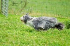 Running bearded border collie dog Stock Photo