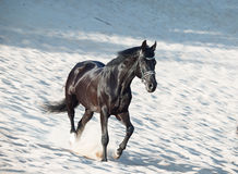 Running beautiful black stallion in the desert Royalty Free Stock Photography