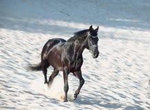 Running beautiful black stallion in the desert Royalty Free Stock Photography