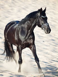 Running beautiful black stallion in the desert Royalty Free Stock Image